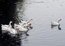 白色鹅群在池塘的 库存图片