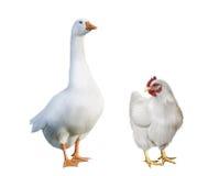 白色鹅和白色鸡。 免版税库存图片