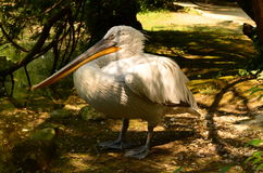 白色鹈鹕在公园 免版税库存图片