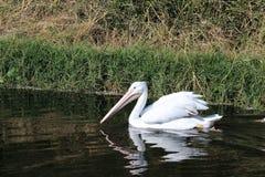 白色鹈鹕在多沼泽的支流 免版税库存图片