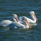 白色鹈鹕在日落的三重奏游泳 免版税库存图片