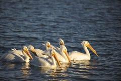 白色鹈鹕在日落的群游泳 库存图片