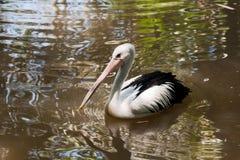 白色鹈鹕在水中 免版税库存图片