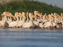 白色鹈鹕大群在水的 免版税库存图片