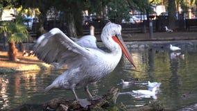 白色鹈鹕拍动它的翼反对池塘的背景 影视素材