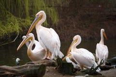 白色鹈鹕群在湖的 免版税库存照片