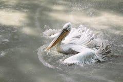 白色鹈鹕飞溅水 鸟游泳 免版税库存图片