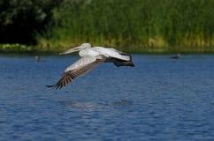 白色鹈鹕飞行 库存照片