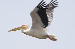 白色鹈鹕飞行 免版税库存照片