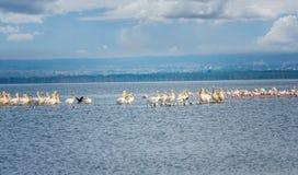 白色鹈鹕鸟和火鸟大量在湖纳库鲁, 免版税库存图片