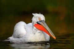 白色鹈鹕, Pelecanus erythrorhynchos,鸟在黑暗的水中,自然栖所,罗马尼亚 从欧洲自然的野生生物场面 黑暗 库存图片
