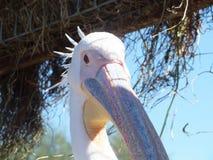 白色鹈鹕 库存图片