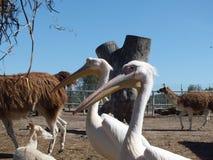 白色鹈鹕 免版税库存照片
