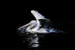 白色鹈鹕 免版税库存图片