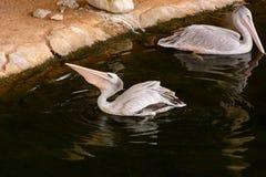 白色鹈鹕 库存照片