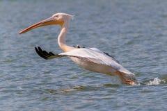 白色鹈鹕(pelecanus onocrotalus)在飞行中 库存照片