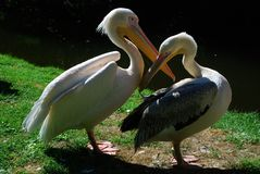 白色鹈鹕(pelicanus onocrotalus) 图库摄影
