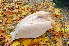 白色鹈鹕Pelecanus休息在秋天的Onocrotalus 免版税库存图片