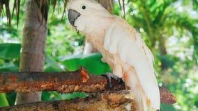 白色鹦鹉,美冠鹦鹉鸟//美丽的白色鹦鹉ara 2018年 库存图片