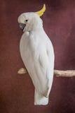 白色鹦鹉 免版税库存图片