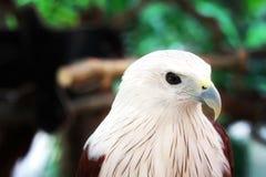 白色鹰特写镜头 库存照片