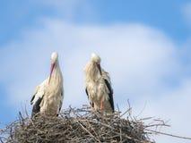 白色鹳修饰在巢的Cicocina ciconia夫妇  免版税图库摄影