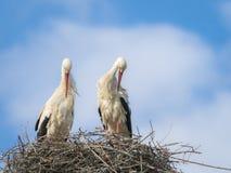 白色鹳修饰在巢的Cicocina ciconia夫妇  图库摄影