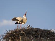 白色鹳在巢的Cicocina ciconia夫妇  库存照片