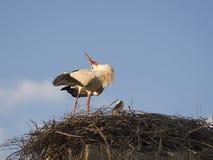 白色鹳在巢的Cicocina ciconia夫妇  图库摄影