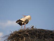 白色鹳在巢的Cicocina ciconia夫妇  库存图片