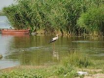 白色鹳在河 库存照片