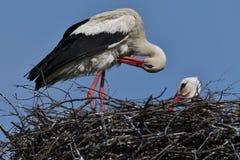 白色鹳坐在巢的对在春天 免版税图库摄影