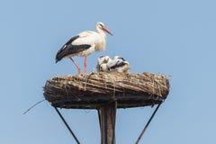 白色鹳坐巢 免版税库存照片