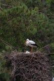 白色鹳夫妇在巢的 库存图片