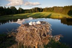 白色鹳小鸡休息 库存图片
