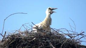 白色鹳巢鸟 股票视频