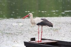 白色鹳狩猎鱼在池塘 库存照片
