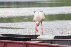 白色鹳狩猎鱼在池塘 免版税图库摄影