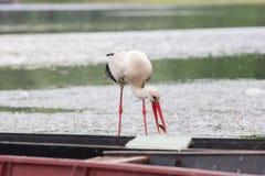 白色鹳狩猎鱼在池塘 库存图片