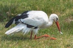 白色鹳,鸟 免版税库存照片