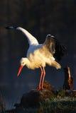 白色鹳, Ciconia ciconia,在湖在春天 与开放翼的鹳 白色鹳在自然栖所 野生生物场面从 库存图片