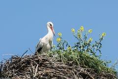 白色鹳(Ciconia ciconia)在巢 免版税库存照片