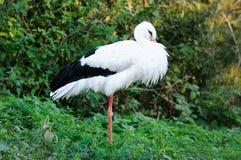 白色鹳(Ciconia ciconia) 免版税库存照片