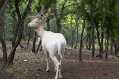 白色鹿在城市Gelendzhik,克拉斯诺达尔地区,俄罗斯的徒步旅行队公园 库存照片