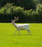 白色鹿新的森林英国英国 库存照片