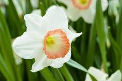 白色黄水仙水仙或在庭院里suisen户外 库存图片