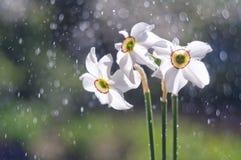 白色黄水仙花在泡影背景的从wat的 免版税图库摄影