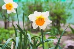 白色黄水仙花束与一个黄色中心的反对一棵蓝天和草在一个晴天 免版税图库摄影