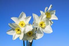 白色黄水仙花束与一个黄色中心的反对一棵蓝天和草在一个晴天 免版税库存照片
