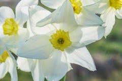 白色黄水仙花束与一个黄色中心的反对一棵蓝天和草在一个晴天 库存图片